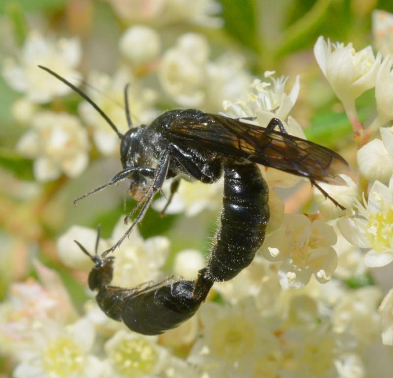 Smooth Flower Wasp