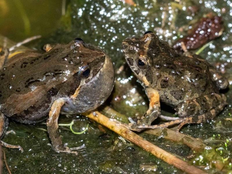 Common Eastern Froglet or 'Clicking Froglet'  Recorded by Kerri-Lee Harris, Wonboyn