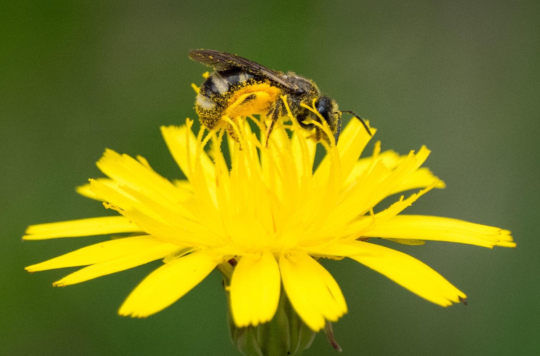 Lassioglossum sp. (?)