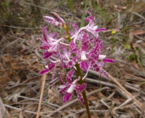 Dipodium variegatum  (Blotched Hyacinth Orchid) …  view sighting recorded by Liz Allen  (ALCW)