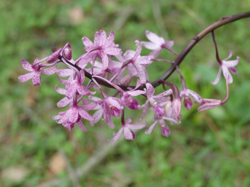 Dipodium roseum  (Pink Hyacinth Orchid) …  view sighting by vivdavo  (ALBC)