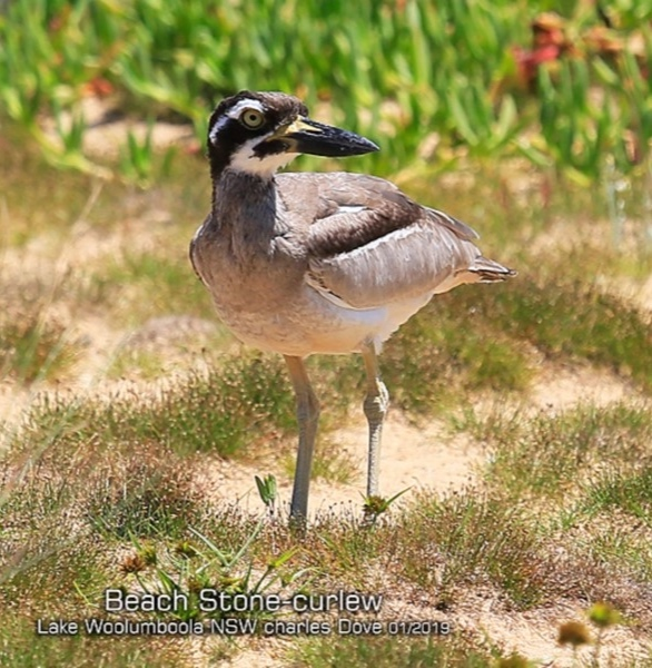 Beach Stone-curlew ( Esacus magnirostris ) …  view sighting by Charles Dove  (ALBC)