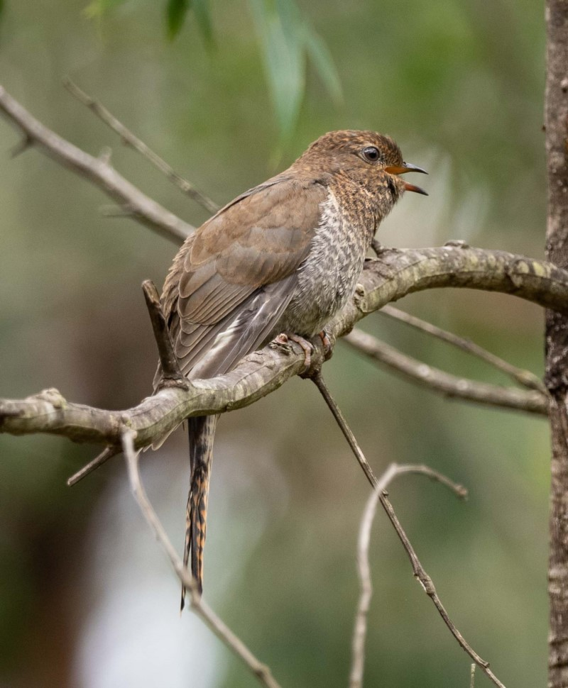 Juvenile Fan-tailed Cuckoo ( Cacomantis flabelliformis ) …  view sighting by Kerri-Lee Harris  (ALCW)