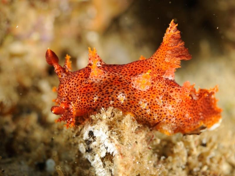 Plocamopherus imperialis , under Narooma Wharf Photo: Paul Tan