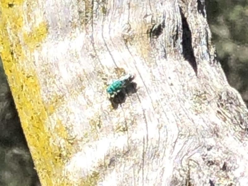 Cuckoo wasp (Chrysididae)  by Loki Lambert  (click for details)