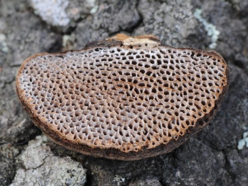 Bracket fungus ( Phaeotrametes decipiens )  by Teresa Van Der Heul  (click for details)