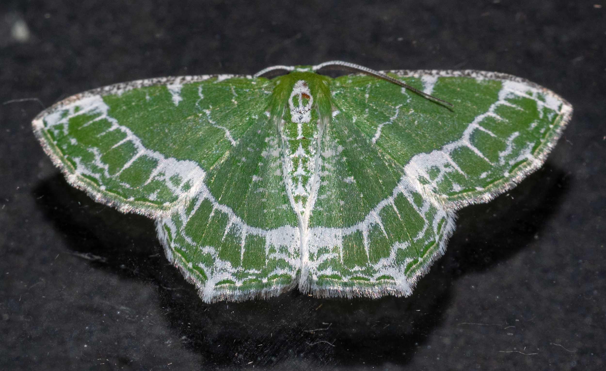 Lacy Emerald