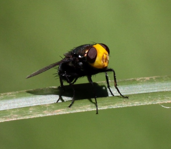 Yellow-headed Blowfly