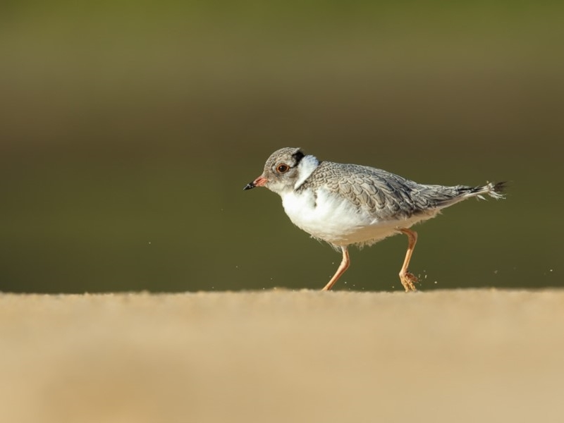 Hooded Plover - fledgling