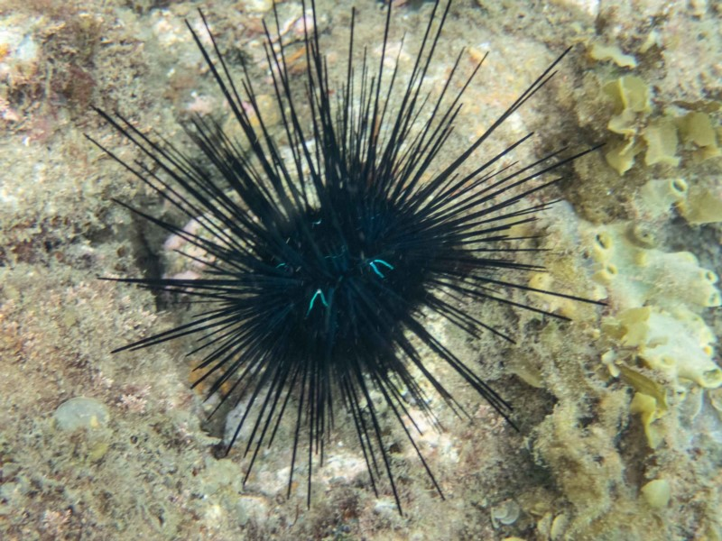 Blue-eyed Sea urchin