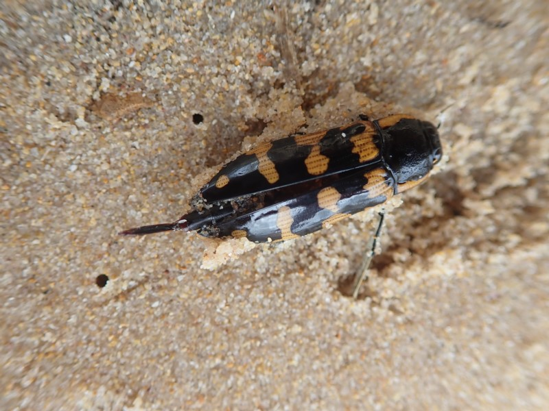 jewel beetle (Order: Coleoptera) photo by Liz