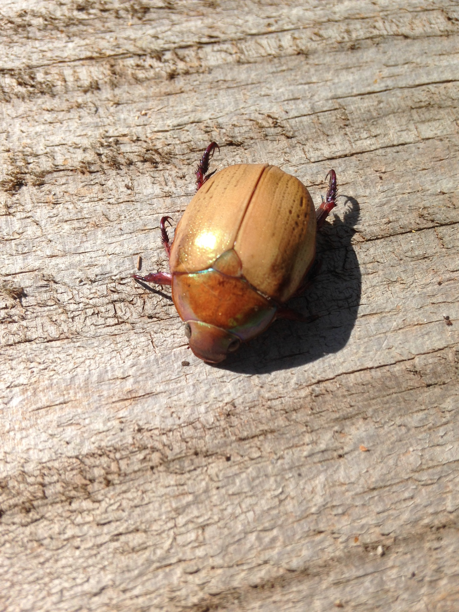 christmas beetle (Order: Coleoptera) photo by Kaye