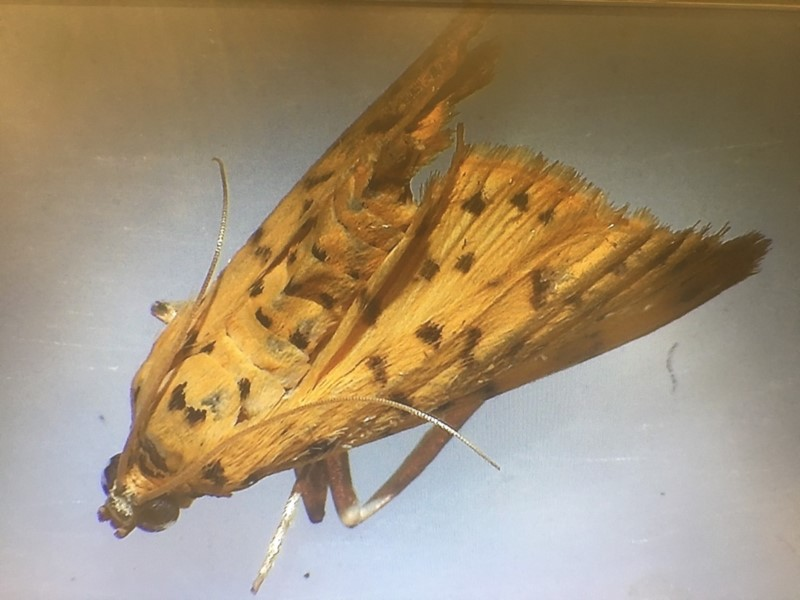 moth (Order: Lepidoptera) photo by Andrew