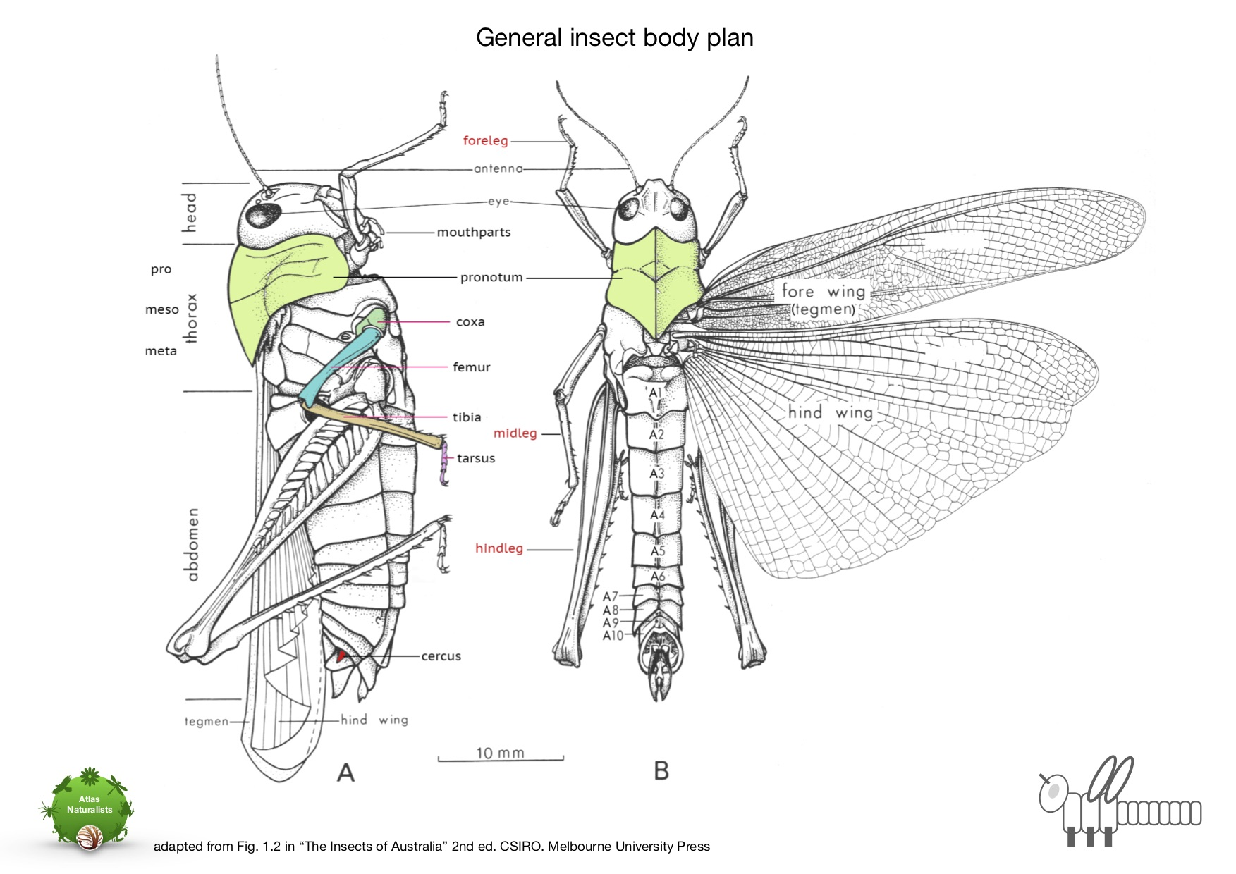 Download insect body plan as a pdf    (1.2mb)