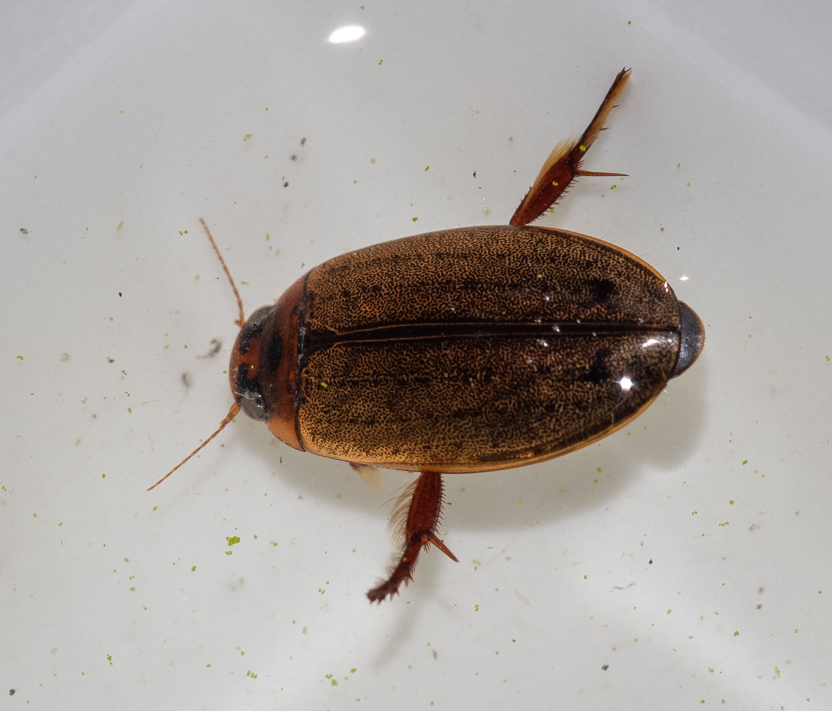 diving beetle (Order: Coleoptera)