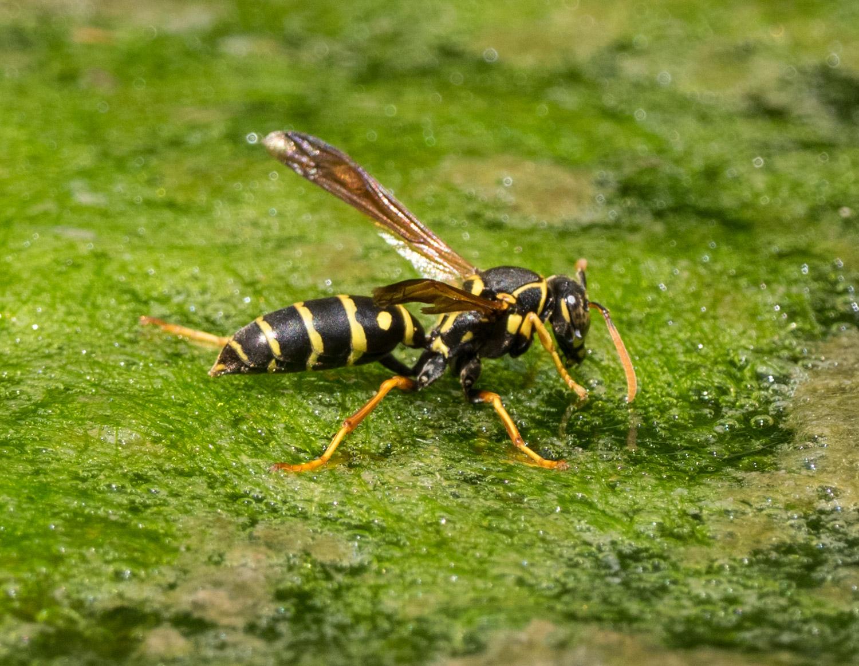 Asian Paper Wasp (Polistes chinensis)
