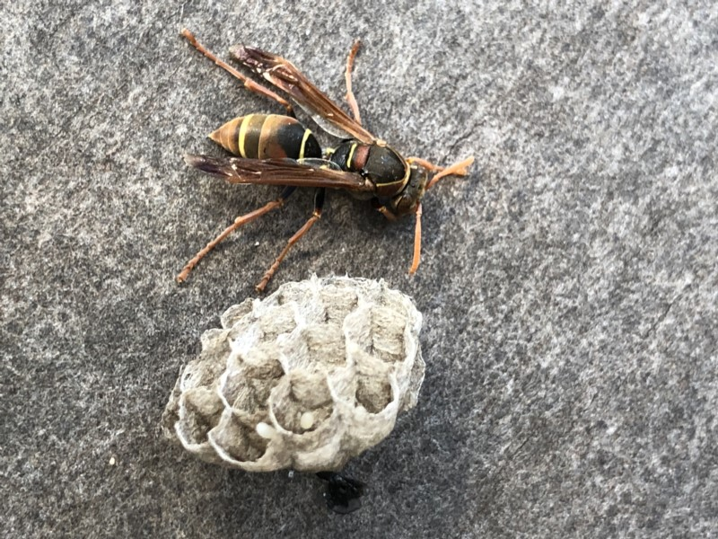local, native paper wasp (early nest)