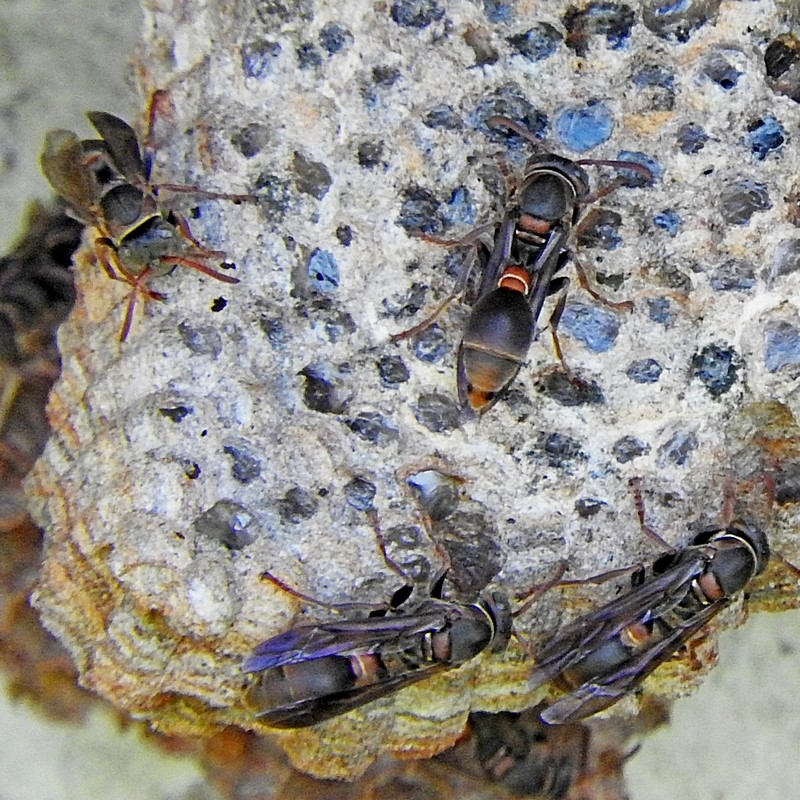 local, native wasp