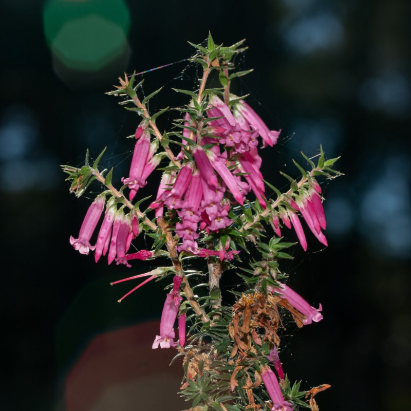 Common Heath (June 2018, Bournda)