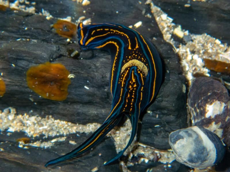 Headshield sea slug