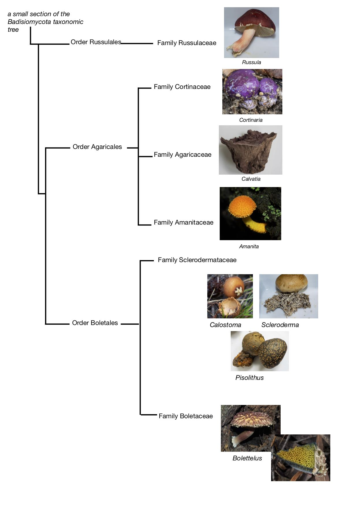Evolutionary relationships between some familiar fungi