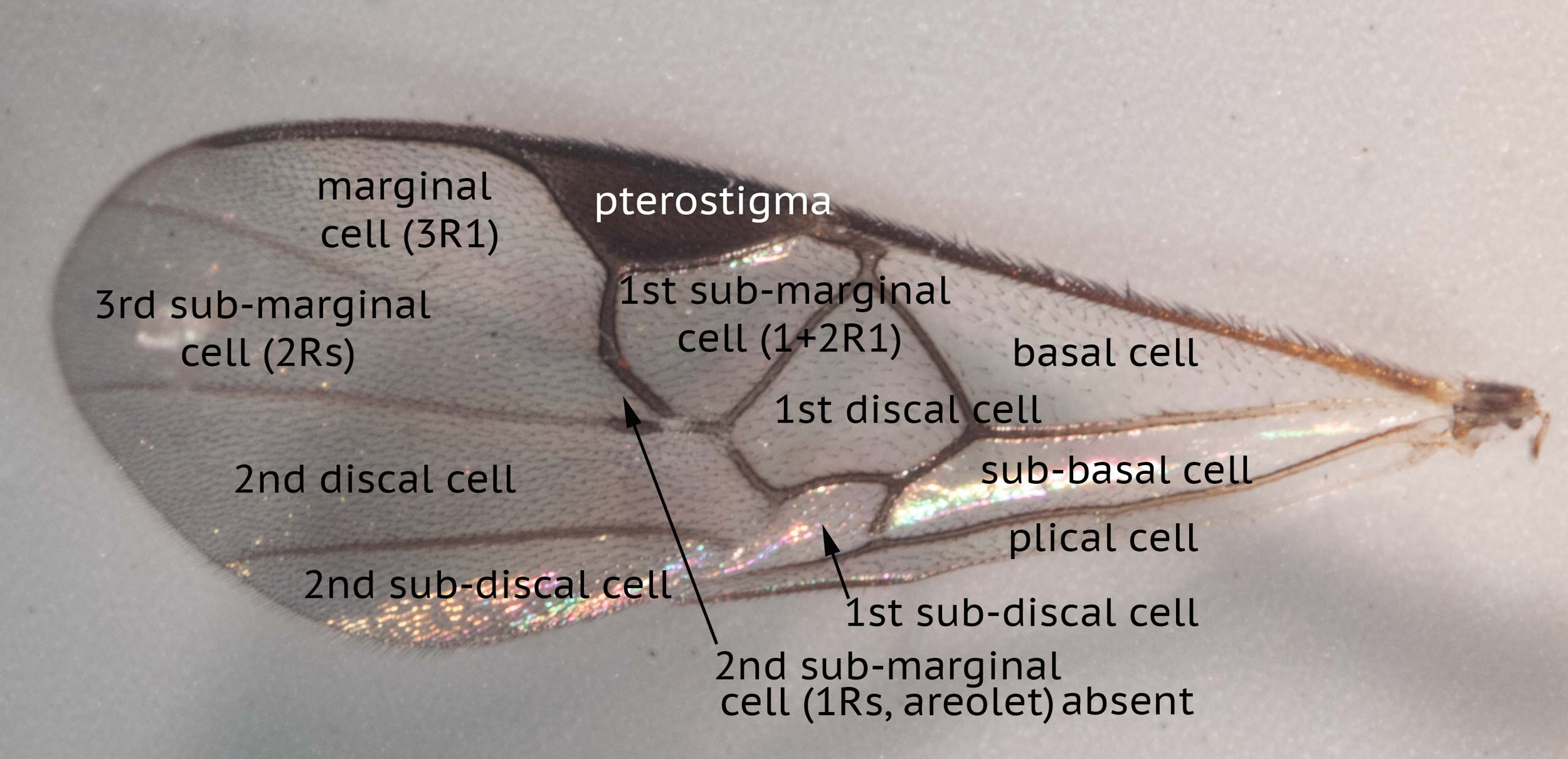 Cross-vein (r) between pterostigma and 2nd submarginal cell longer than anterior length of cell
