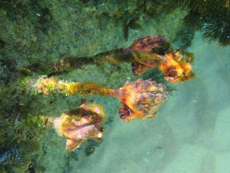 Sea Tupils – sounds like a plant, looks like an alga ...