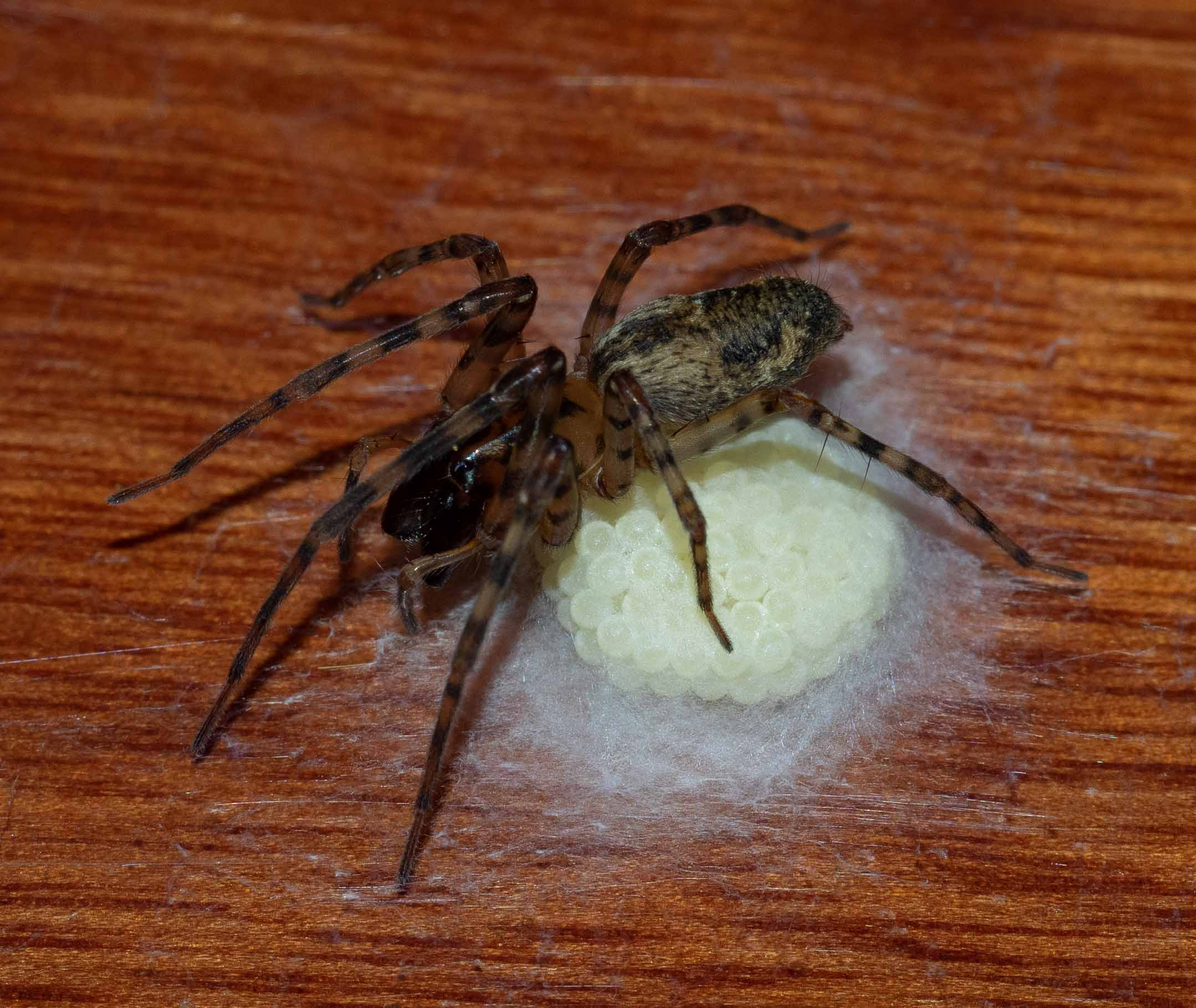 BREAKING NEWS!  Remember the fat-bodied, sluggish Sac Spider? Overnight on Saturday she laid a clutch of eggs in a beautiful silken egg case. Had it been just a few hours earlier she would have  really  been the star of the workshop! Family: Clubionidae