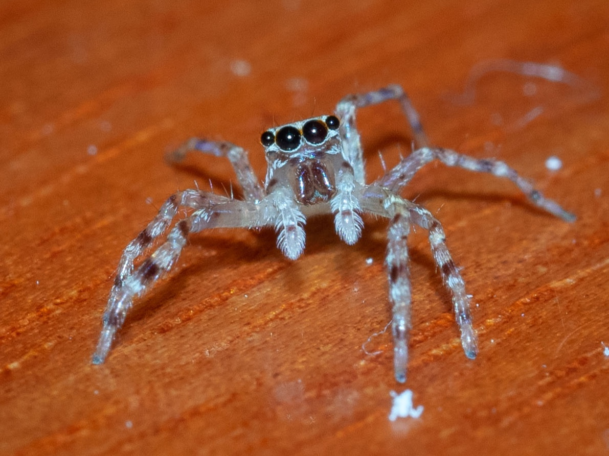 She turns to look at me … as Jumping Spiders do. Her  large middle eyes are like telephoto lenses , capable of excellent form vision. Family: Sparassidae