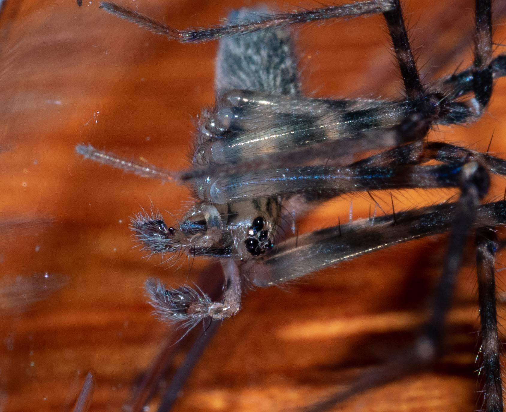 The elaborate ends of the pedipalps are a give away.  This spider is definitely a male!  Also note the many sensory hairs on the pedipalps. He has now been returned to his home under a fallen log. Family: Stiphidiidae