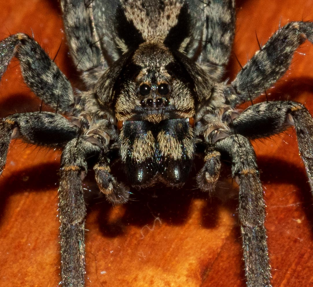 The  eye pattern of wolf spiders  is familiar to all fans of the Harry Potter movies. Looks rather like Aragog, doesn't she!?! Family: Lycosidae