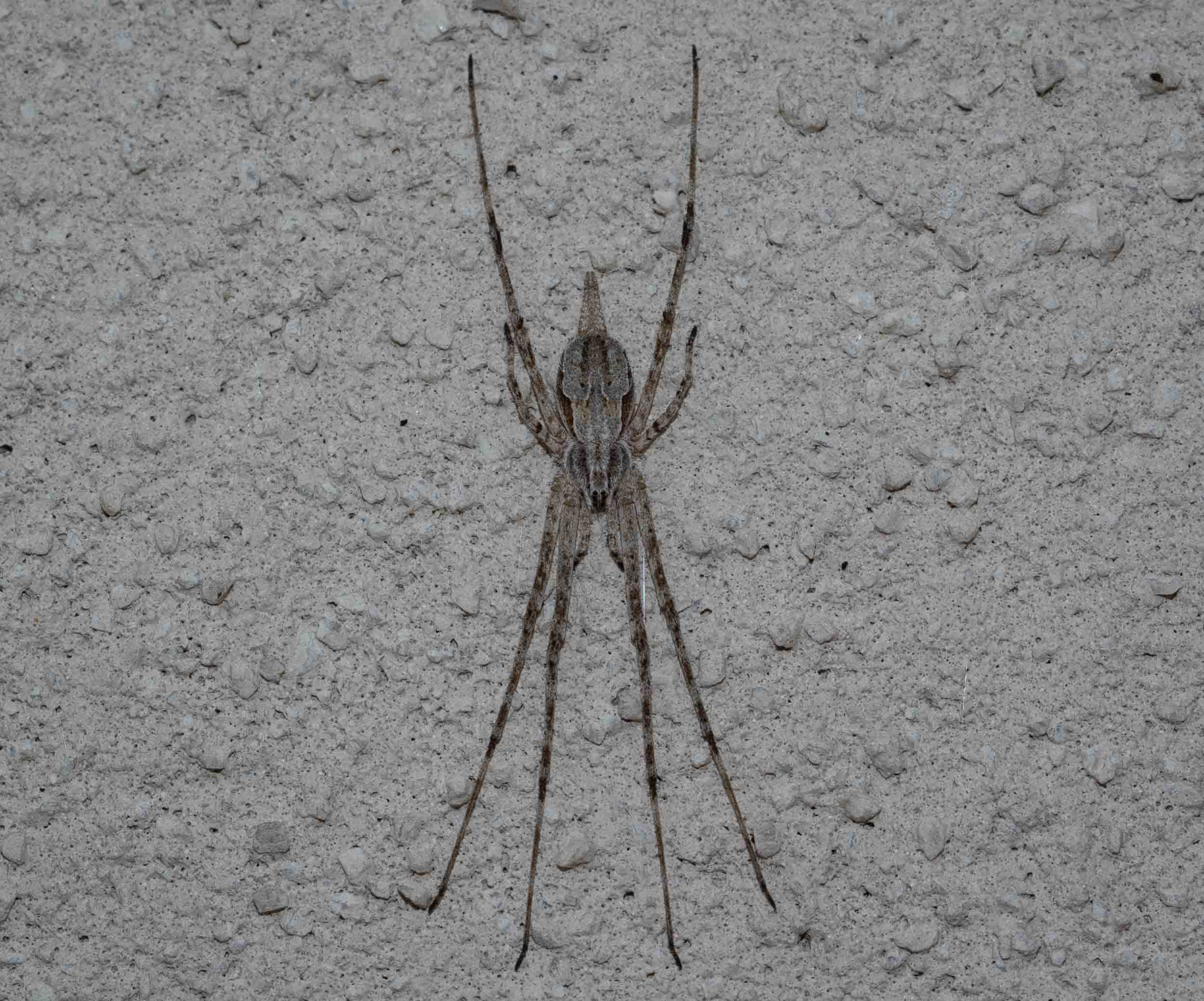 Now back in the usual spot on the wall of the house, but this Two-tailed Spider seems darker than usual. They are reported to  change colour  to blend in with their surroundings, so perhaps it will lighten up again now that it's back home. Family: Hersiliidae