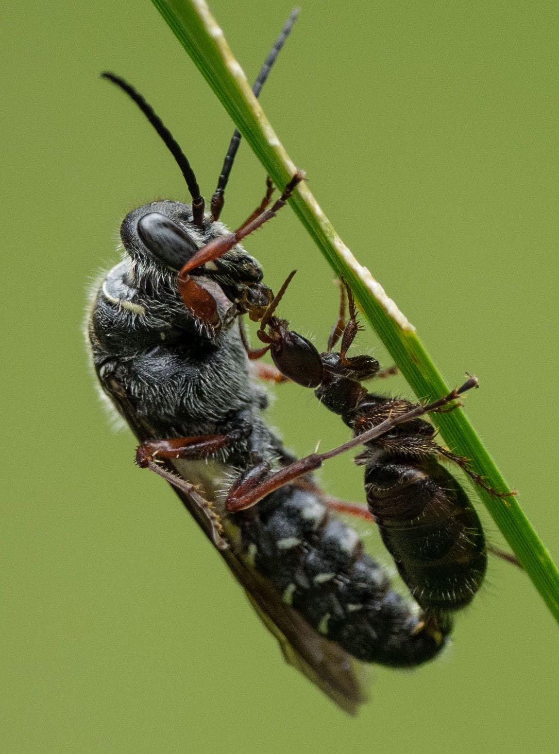 Male wasp feeding the flightless female (Family: Tiphiidae)
