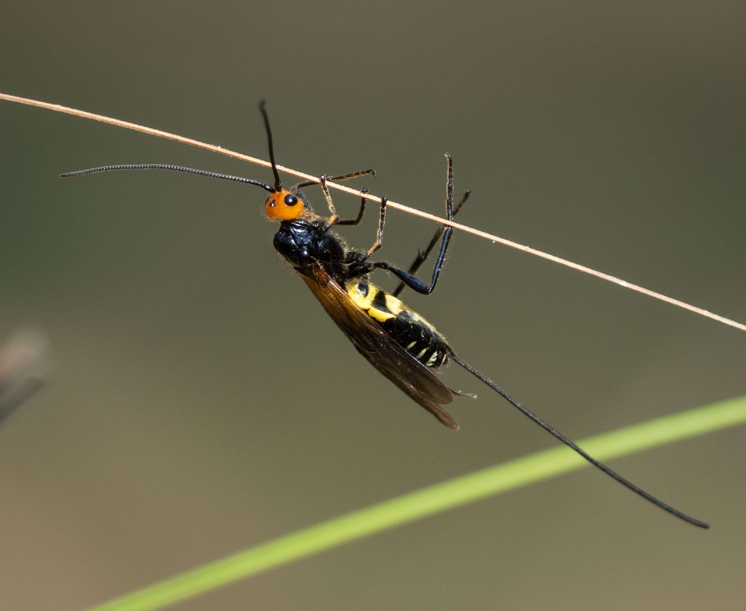 A female brachonid wasp with her extremely long ovipositor. ( Calibracon sp . Family: Braconidae)