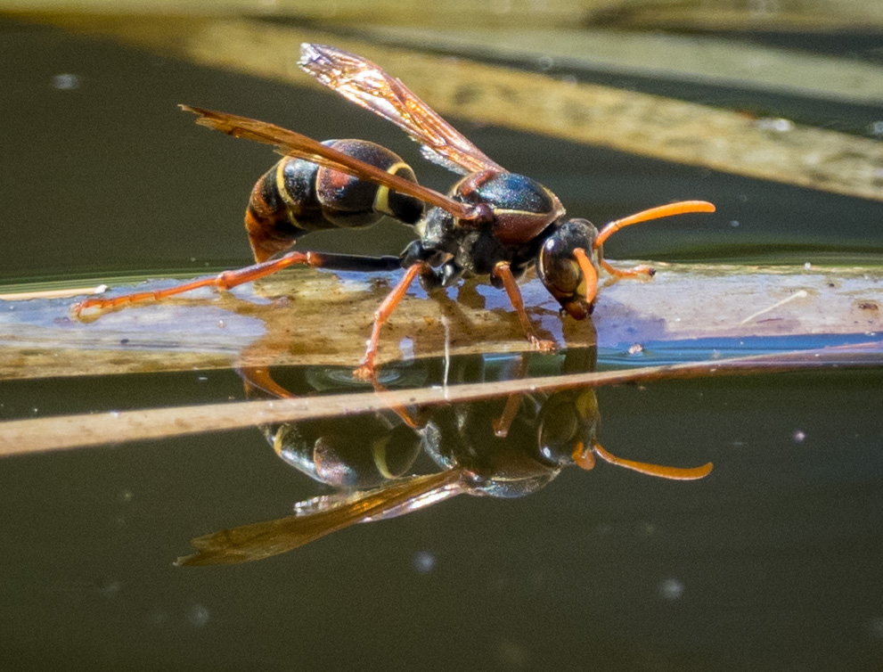 This native species is a common sight in Summer. ( Polistes humilis  Family: Vespidae; subfamily: Polistinae)