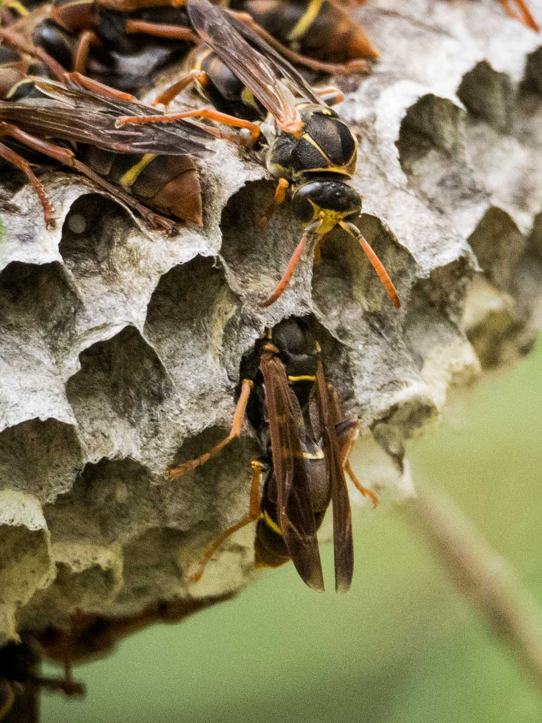 Worker wasps regurgitate caterpillar mush to each growing larva. ( Polistes humilis  Family: Vespidae; subfamily: Polistinae)
