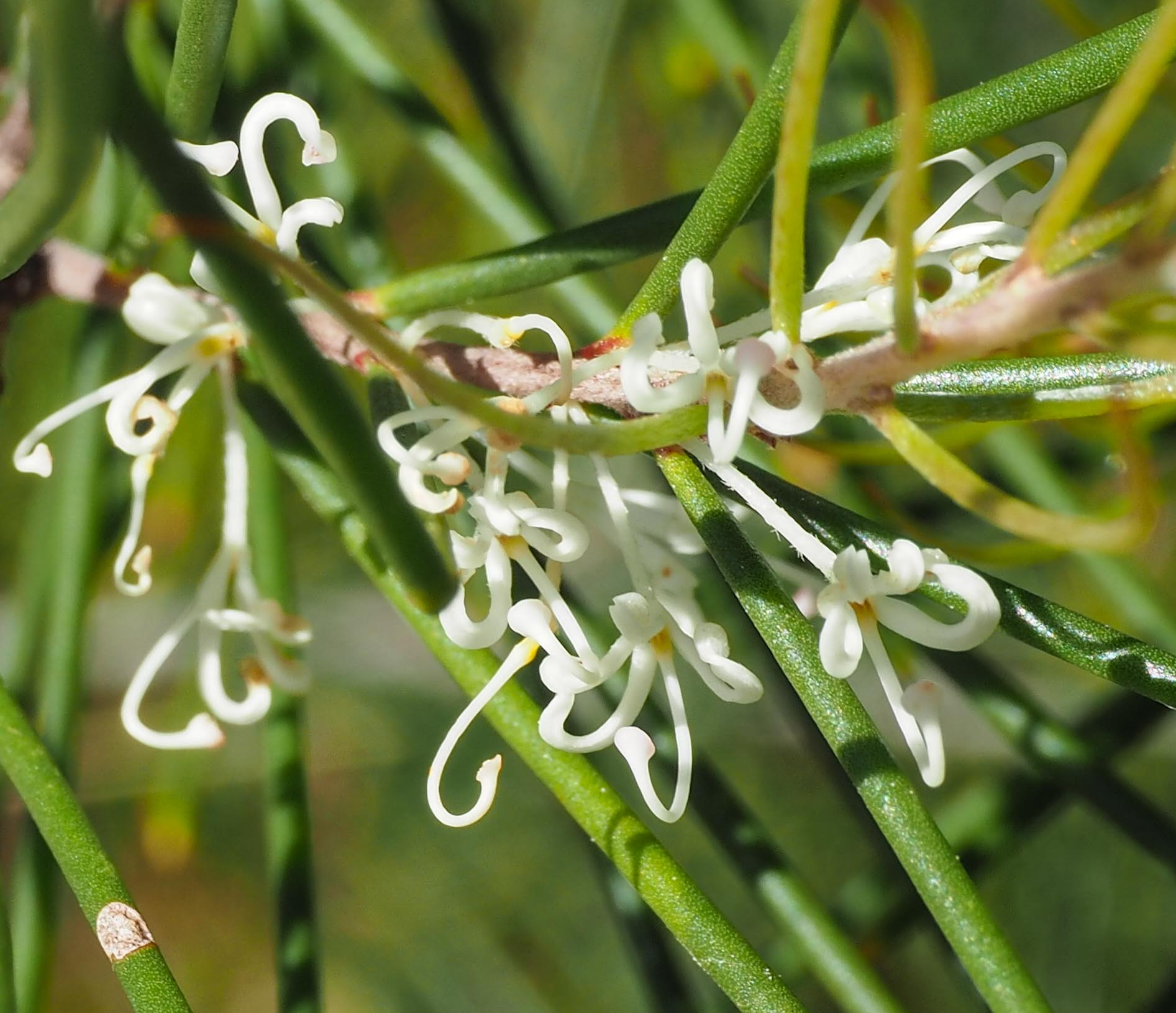 Hakea macreana  at Wonboyn, NSW (Image: Kerri-Lee Harris)