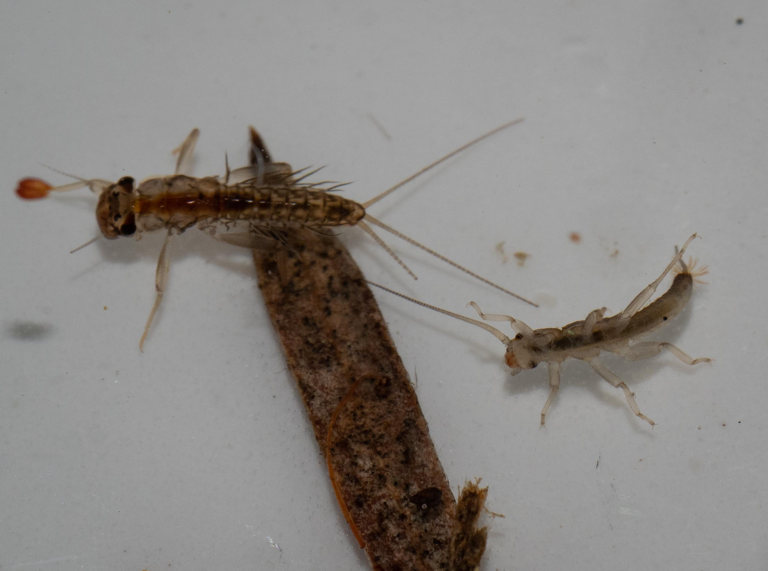 mayfly and stonefly larvae