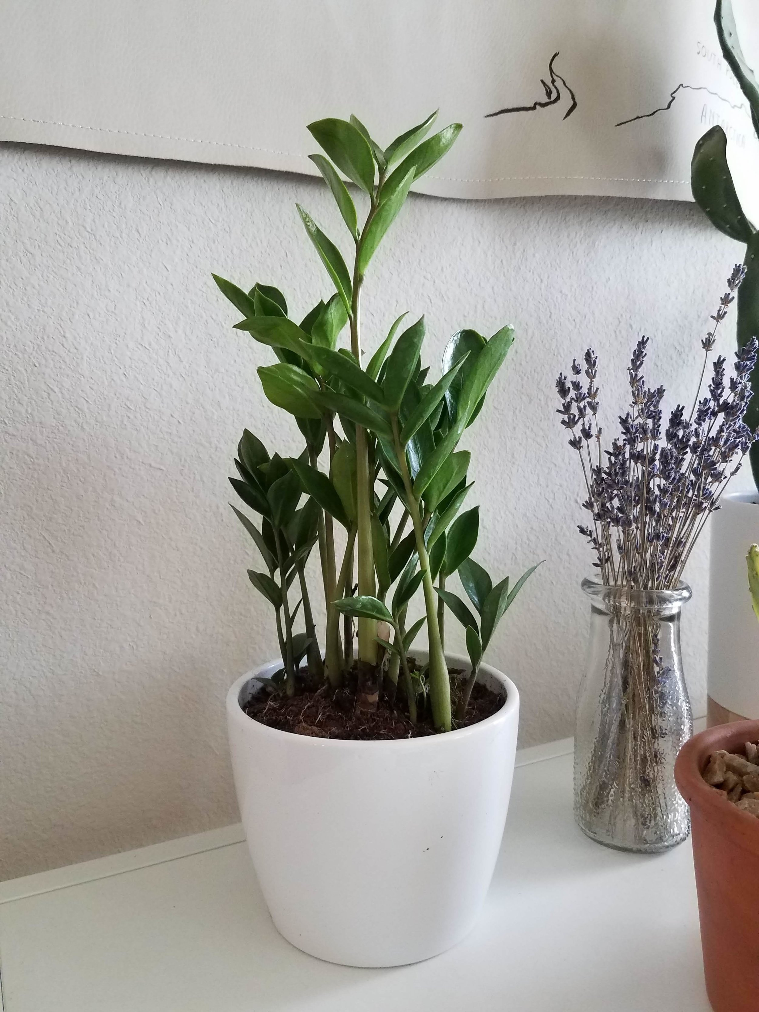 A ZZ plant to keep me company while working