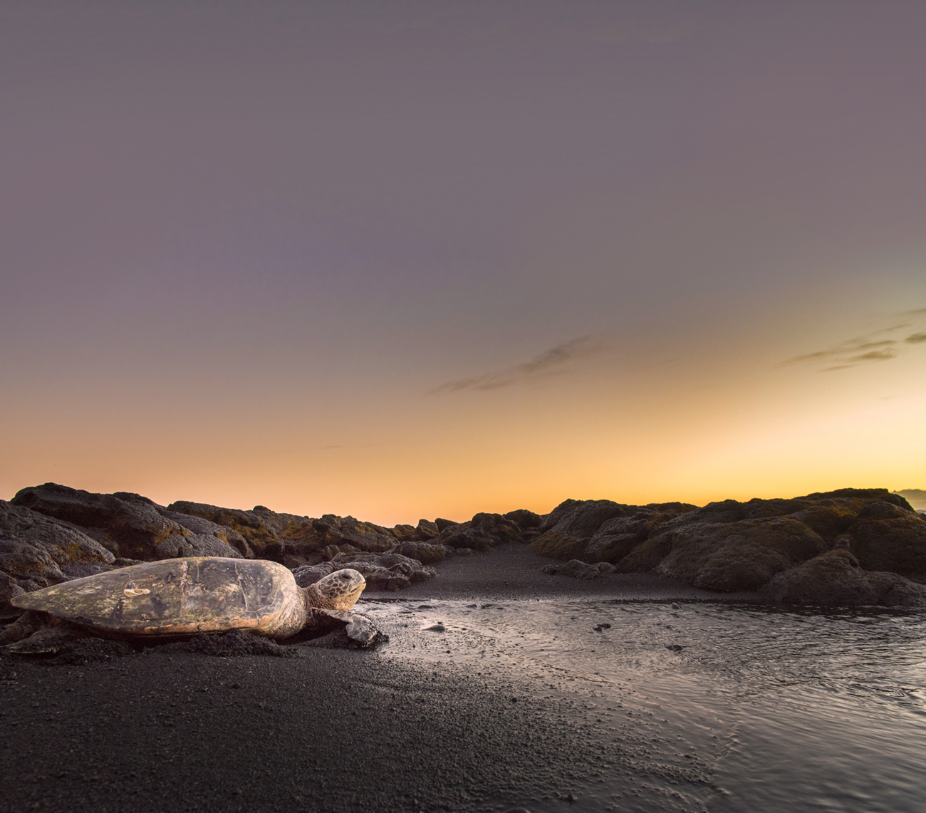 Sea Turtle at Black Sands Beach on a magical morning sunrise  // Photo credit: Carlin Ma