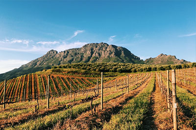Wine tasting in the best wine regions of South Africa - Stellenbosch, Franschoek, Constantia. We'll be visiting various wine farms and chateaus.