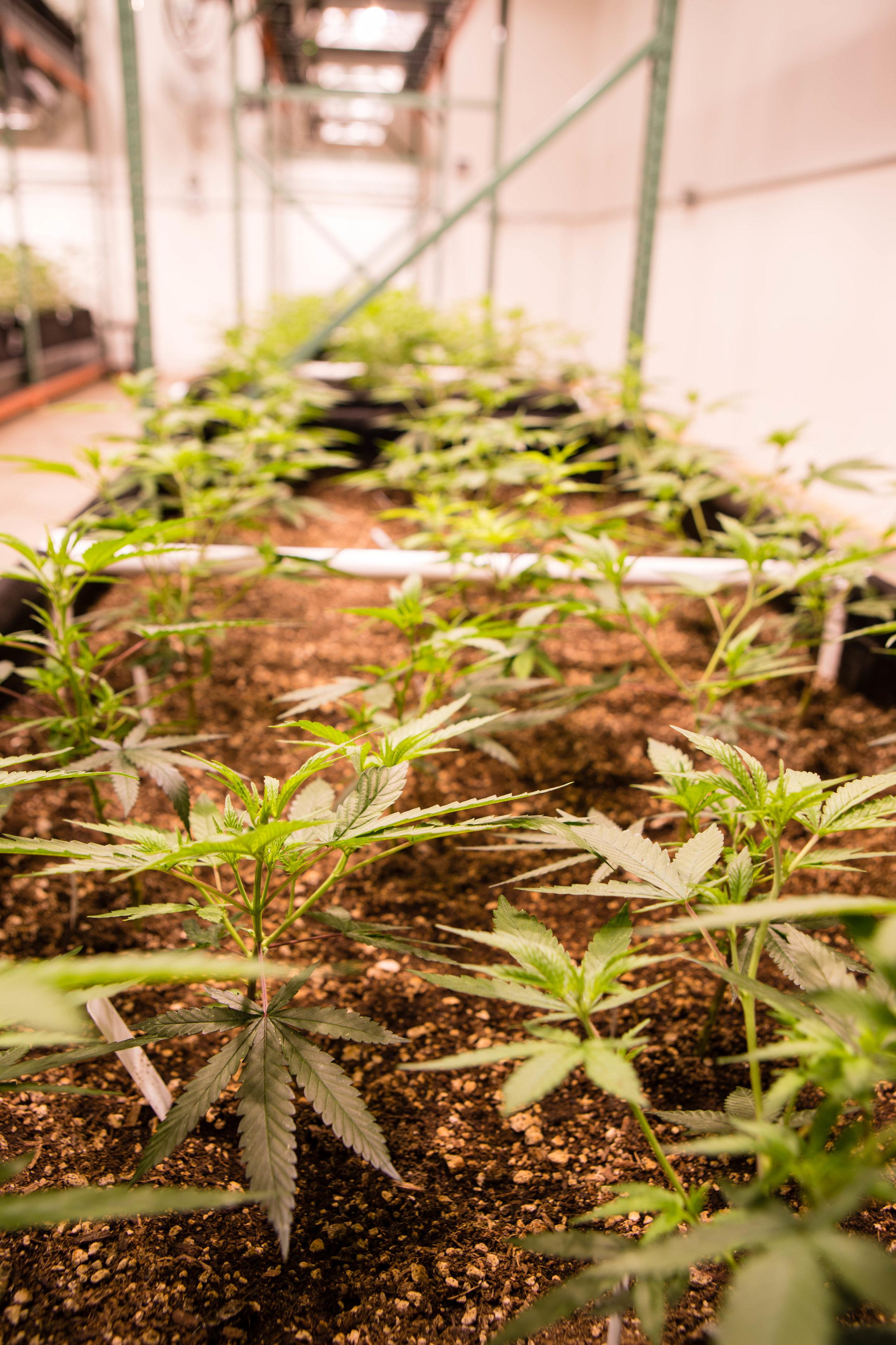 Curing Cannabis