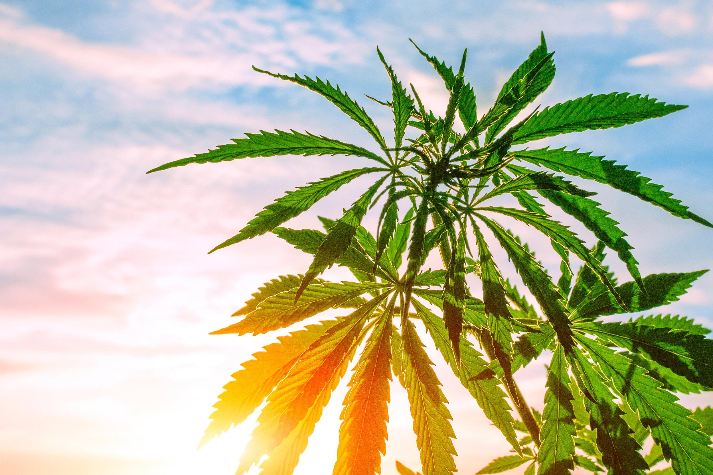 California cannabis news