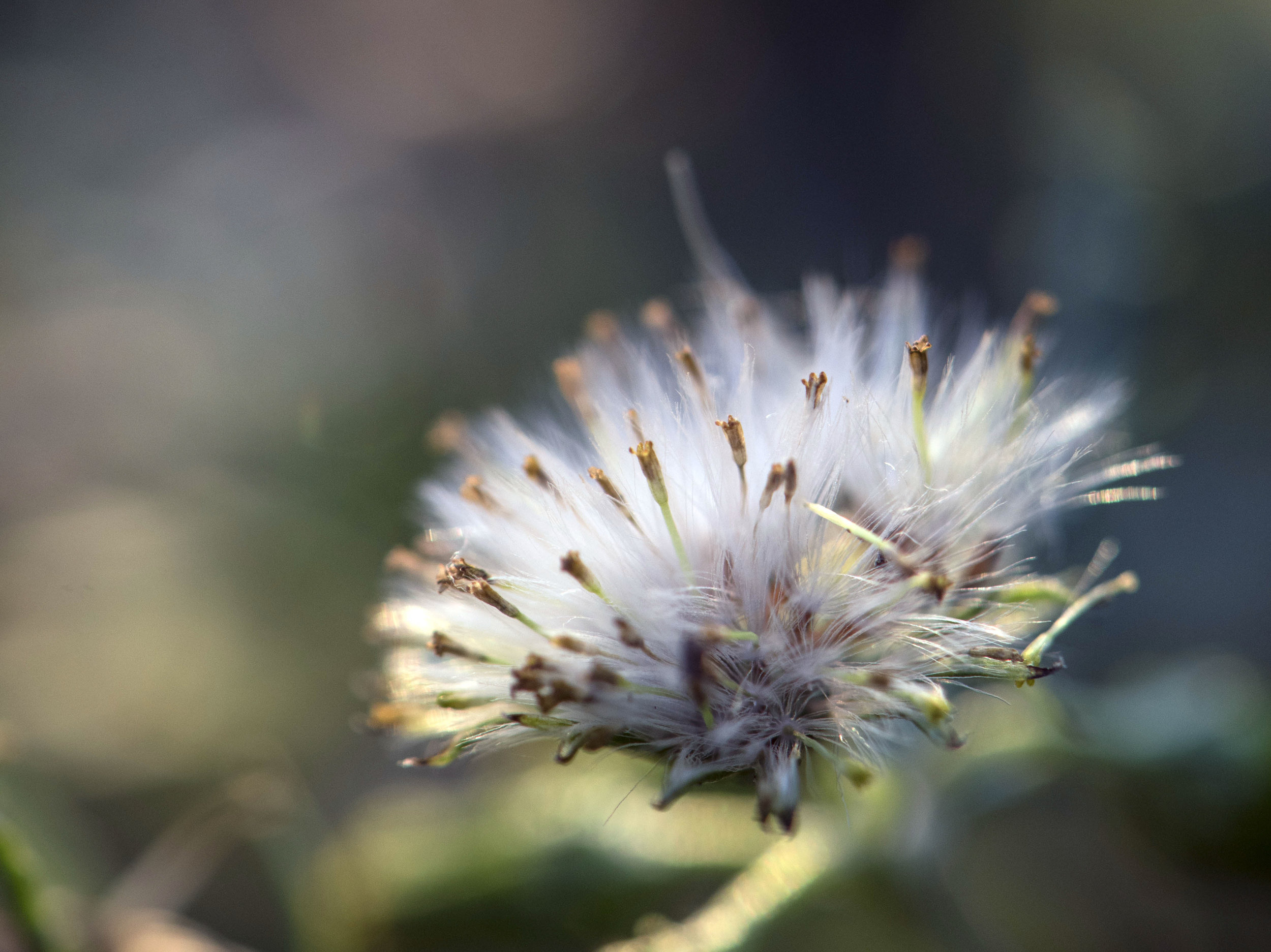 Dandelion in the Convent Field for web.jpg