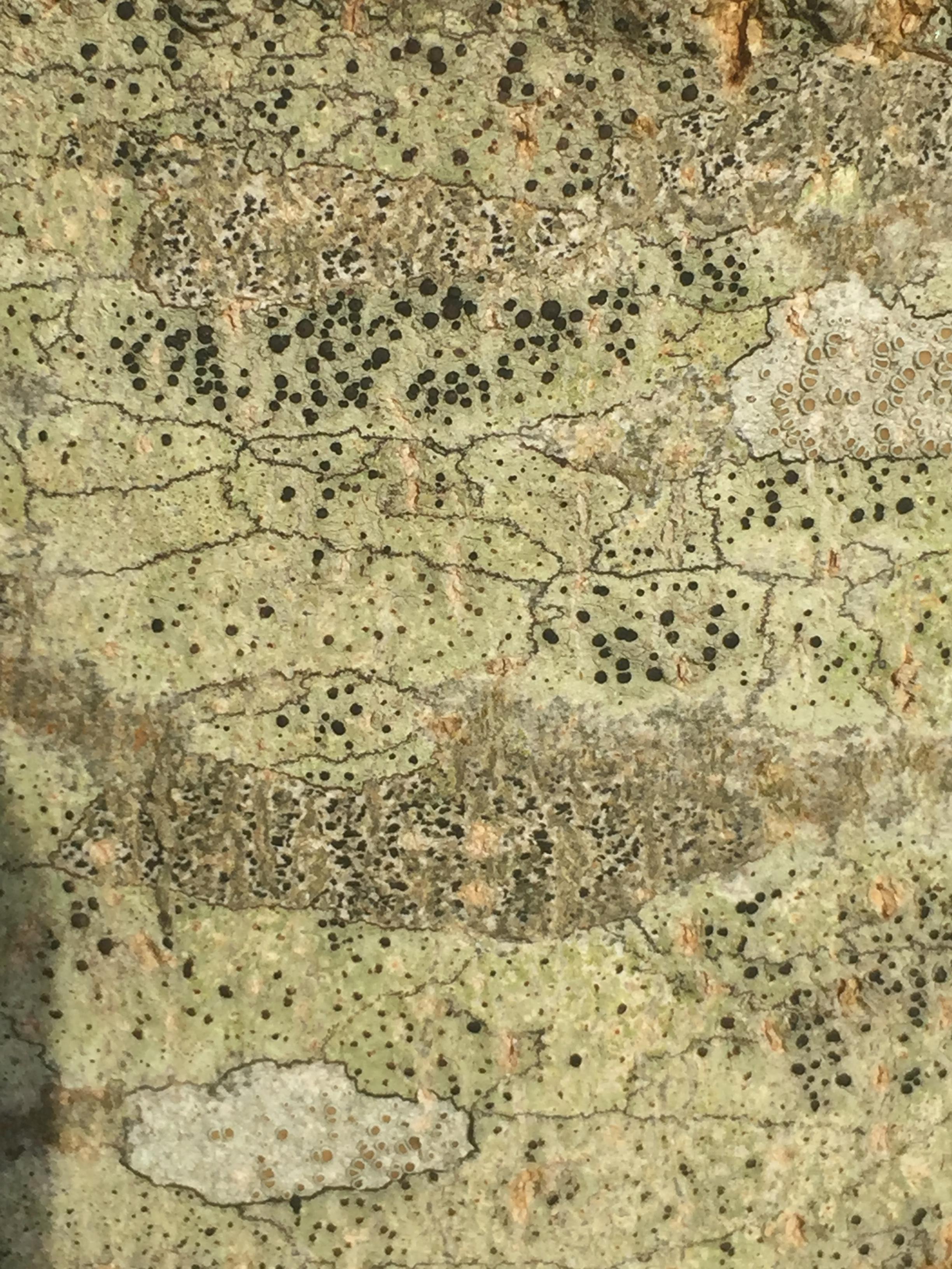 bark birch.JPG
