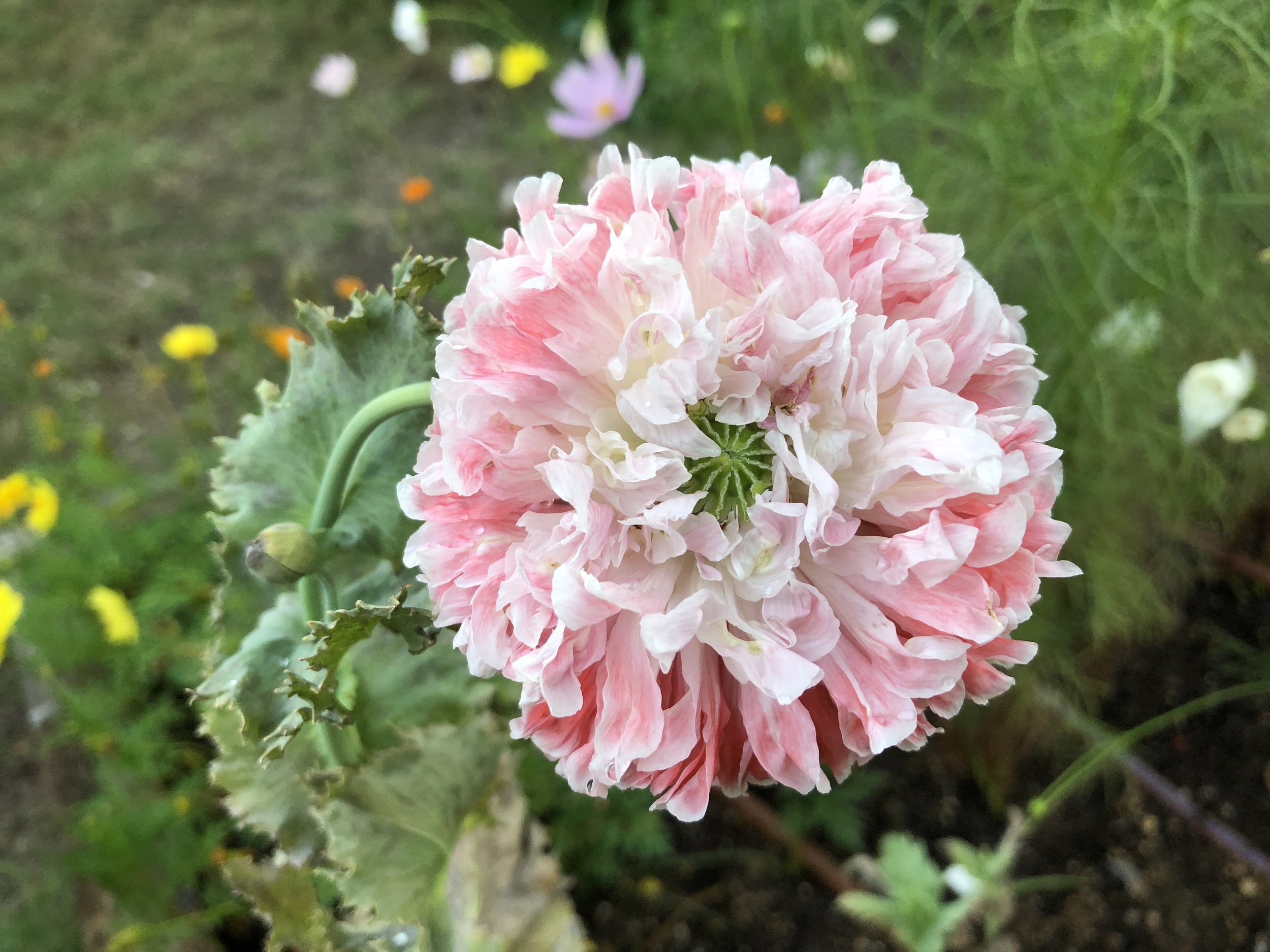 Peony Poppy - Only one of these seed made it and I savored her everyday.