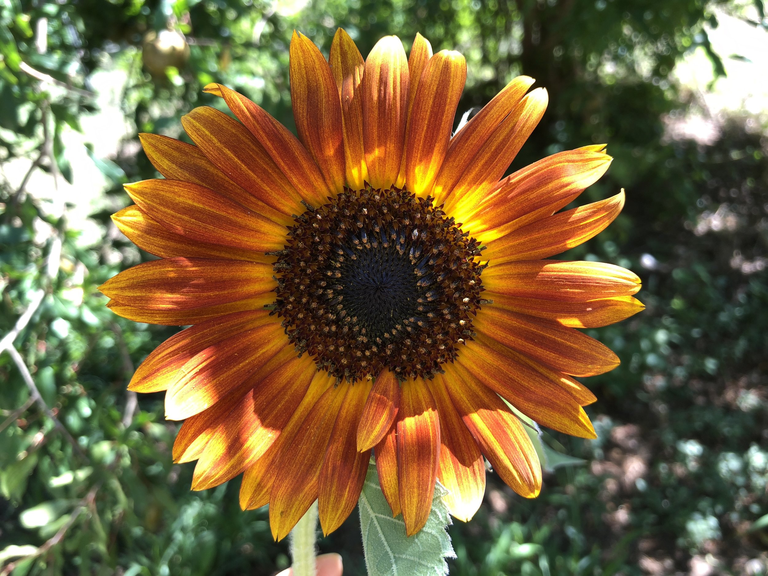 Red Sunflower - This one was more bronze, but that glow around the center is stunning.