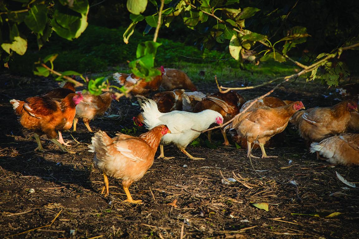 kycklingar_dpi.jpg