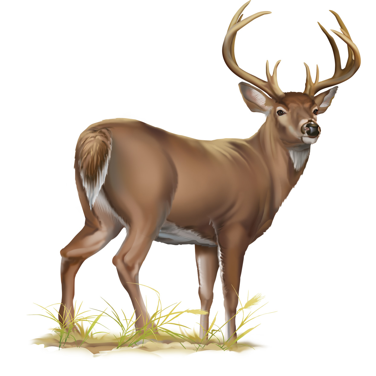 whitetail deer.jpg