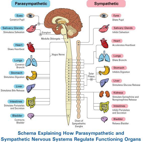 parasympathetic and sympathetic nervous system.jpg